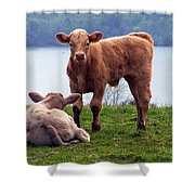 Irish Calves At Lough Eske Shower Curtain