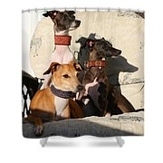 Italian Greyhounds Shower Curtain