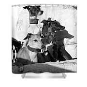 Italian Greyhounds In Black And White Shower Curtain