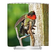 I've Got An Itch - Ruby-throated Hummingbird Shower Curtain