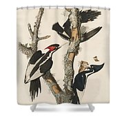 Ivory-billed Woodpecker Shower Curtain