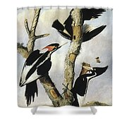 Ivory-billed Woodpeckers Shower Curtain