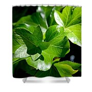 Ivy In Sunlight Shower Curtain