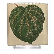 Ivy Leaf, Cissus Porphyrophyllus  Shower Curtain