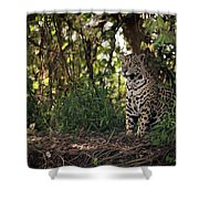 Jaguar Sitting In Trees In Dappled Sunlight Shower Curtain