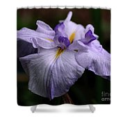 Japanese Iris In Bloom Shower Curtain