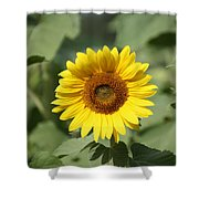 Jarrettsville Sunflowers - The Star Of The Show Shower Curtain