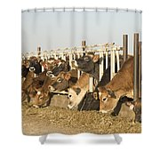 Jersey Cows Feeding Shower Curtain