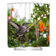 Juvenile Anna's Hummingbird Warm-up Shower Curtain
