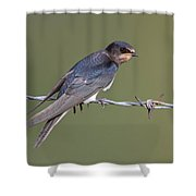 Juvenile Barn Swallow Side On Shower Curtain
