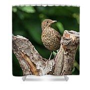 Juvenile Black Bird Turdus Merula Fledgling In Tree Stump In For Shower Curtain