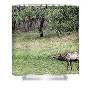 Juvenile Bull Elk Grazing 2 Shower Curtain