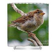 Juvenile House Sparrow Shower Curtain