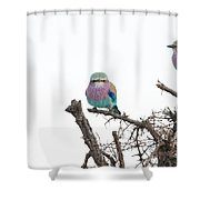 Juvenile Lilac Breasted Roller Shower Curtain