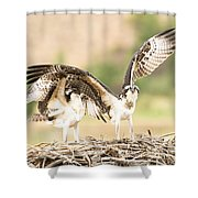 Juvenile Osprey Testing Their Wings Shower Curtain