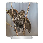 Juvenile Red Winged Blackbird Shower Curtain