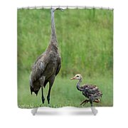 Juvenile Sandhill Crane With Protective Papa Shower Curtain