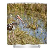 Juvenile White Ibis In The Everglades Shower Curtain