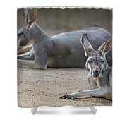 Kangaroo Relaxing On Ground In The Sun Shower Curtain
