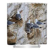 Kittiwakes Tend Their Chicks At Rspb Bempton Cliffs Shower Curtain