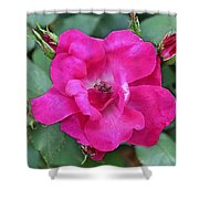 Knockout Rose Surrounded By Buds Shower Curtain