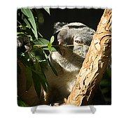 Koala Bear 3 Shower Curtain