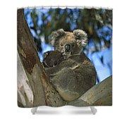 Koala Phascolarctos Cinereus Mother Shower Curtain
