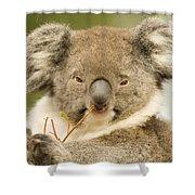 Koala Snack Shower Curtain by Mike  Dawson