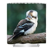 Kookaburra Australian Bird Shower Curtain