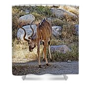 Kudu Near A Waterhole In Living Desert Zoo And Gardens In Palm Desert-california  Shower Curtain