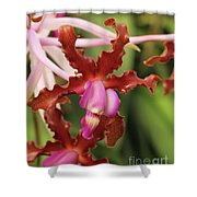 Laelia Undulata Orchid Shower Curtain