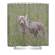 Lamar Valley Coyote Shower Curtain
