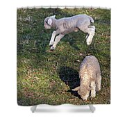 Lambs Frolicking Shower Curtain
