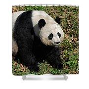 Large Black And White Giant Panda Bear Sitting Shower Curtain