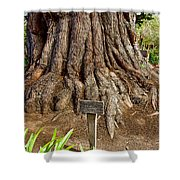 Large Cypress Tree Trunk In Carmel Mission-california  Shower Curtain