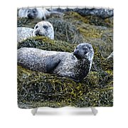 Large Harbor Seal Colony In Scotland Shower Curtain