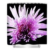 Large Purple Chrysanthemum-1 Shower Curtain