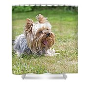 Laughing Yorkshire Terrier Shower Curtain