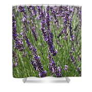 Lavendar Shower Curtain