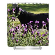Lavender And Black Lab Shower Curtain