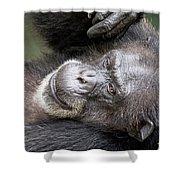 Lazy Chimp - Lowry Park Zoo Shower Curtain