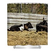 Lazy Cows And Weathered Wood Shower Curtain