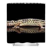 Leopard Gecko Eublepharis Macularius Isolated On Black Background Shower Curtain