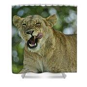 Licking Lion Shower Curtain
