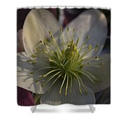 Light And Shadow Hellebore Flower Shower Curtain