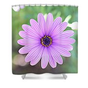Light Purple Gazania Macro 1  Shower Curtain