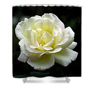 Light Yellow Rose 1 Shower Curtain