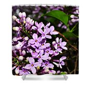 Lilac Bush In Spring Shower Curtain