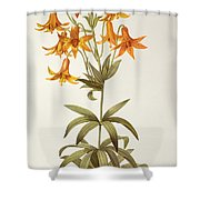Lilium Penduliflorum Shower Curtain by Pierre Joseph Redoute