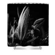 Lily Bud At Night Shower Curtain